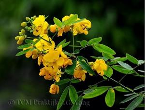 Casia flower
